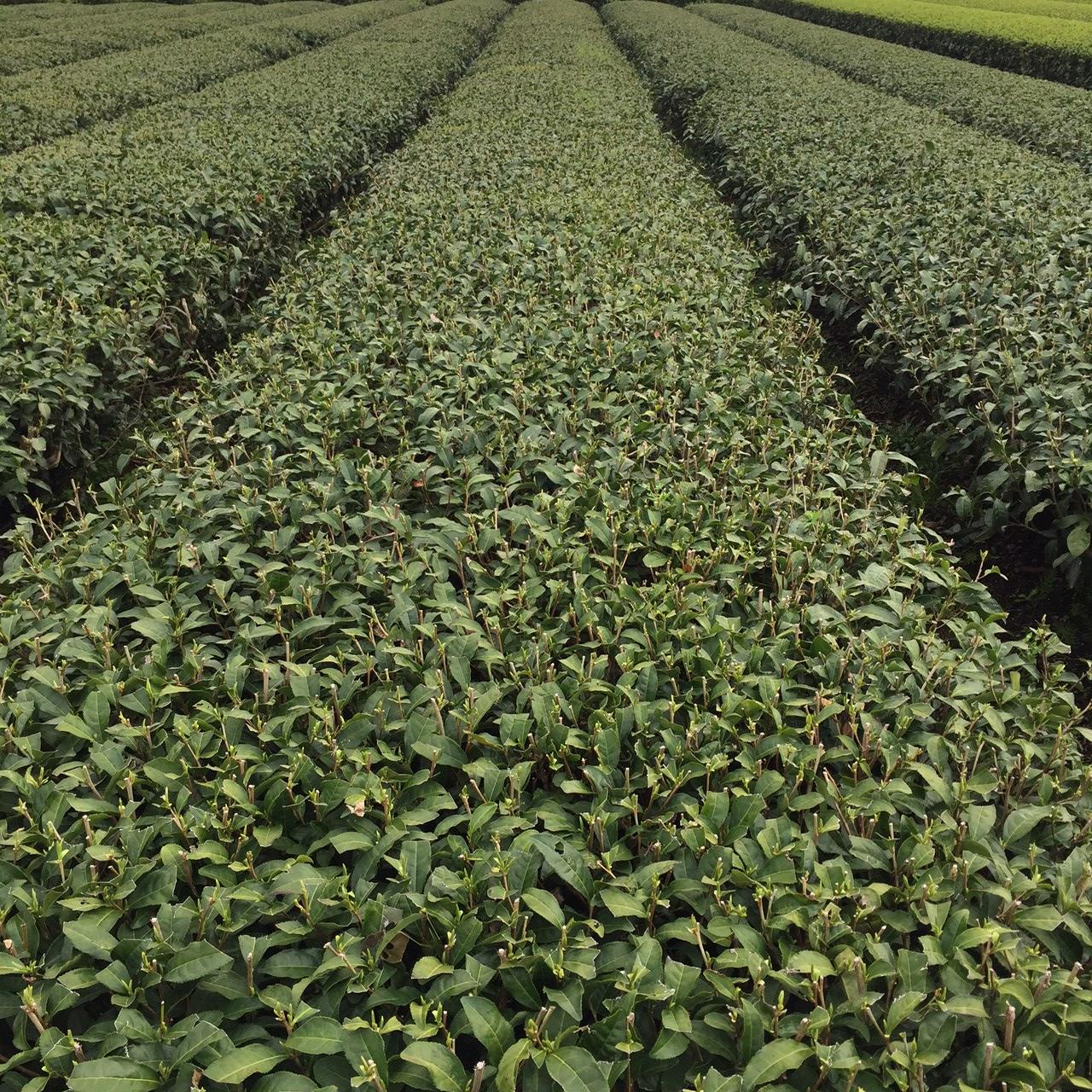 2017年4月8日産かごしま緑茶の茶園風景です。品種は代表的なお茶の品種やぶきたです。まだまだ新芽はお休み中ですね。