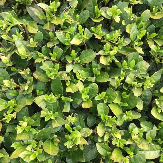 2017年4月8日産かごしま緑茶の茶園風景です。品種は早生品種ゆたかみどりです。小さな新芽が顔を出しています。