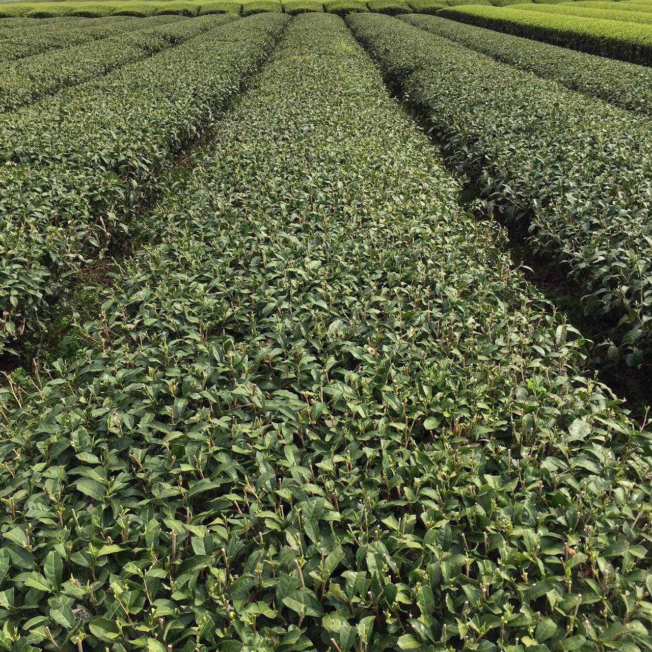 2017年4月9日かごしま緑茶の茶園風景です。品種はヤブキタです。まだまだお休み中です。