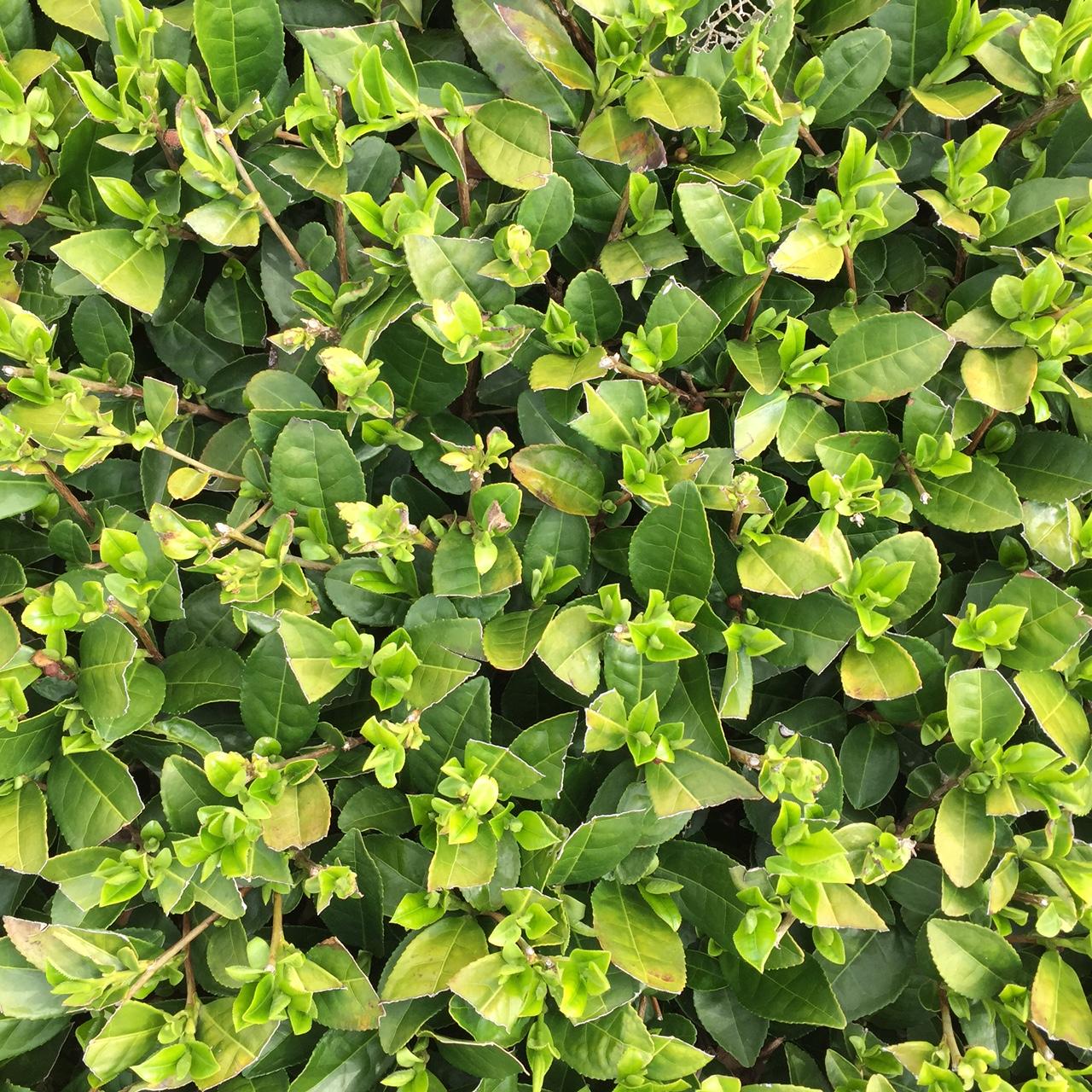 2017年4月9日かごしま緑茶の茶園風景です。品種はゆたかみどりです。きれいな新芽がでてきました。