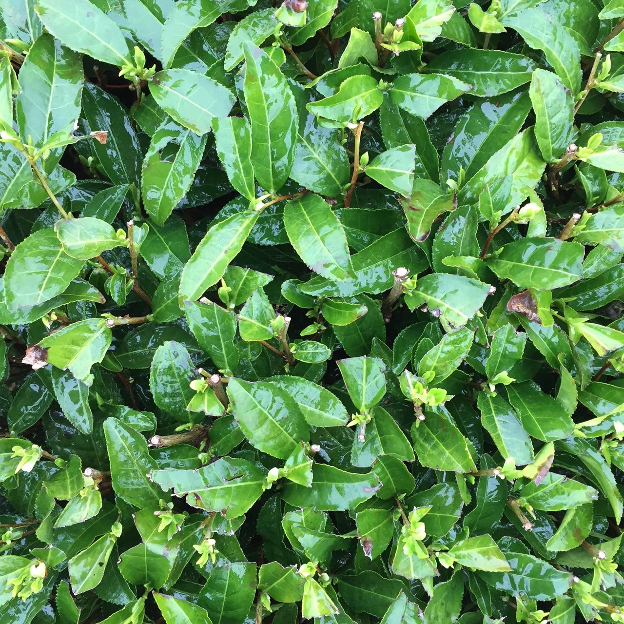 2017年4月10日かごしま緑茶の茶園風景です。品種はヤブキタです。まだまだお休み中です。