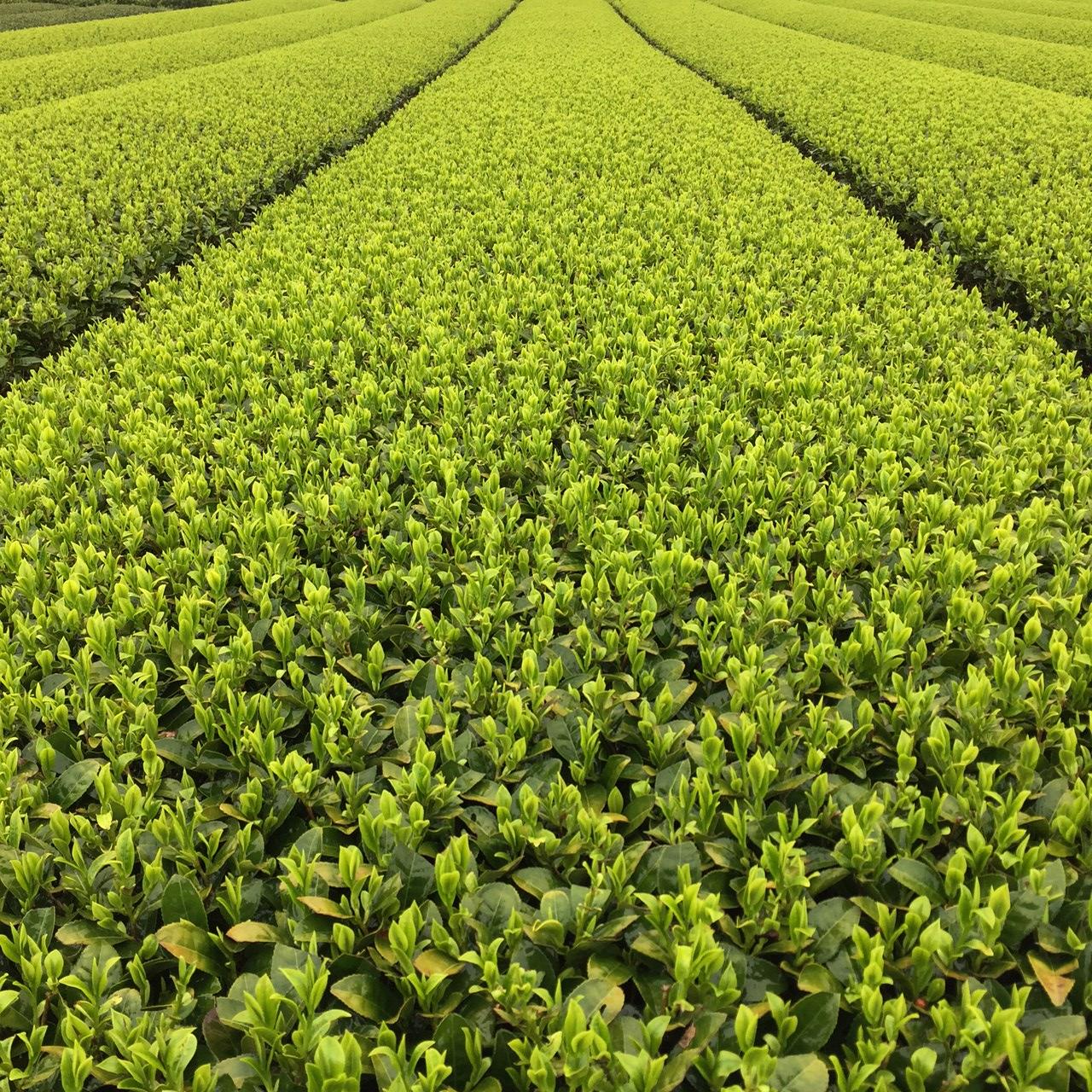 2017年4月10日かごしま緑茶の茶園風景です。品種はゆたかみどりです。新芽が雨に濡れています。
