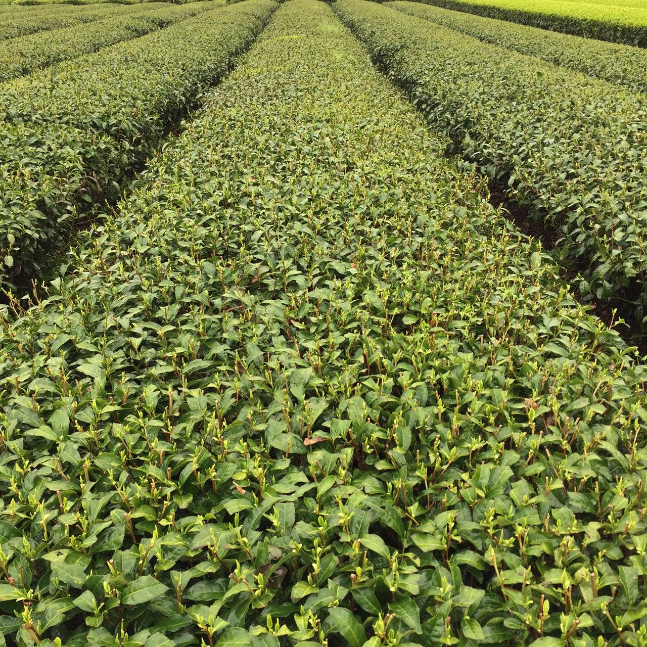 2017年4月11日かごしま緑茶の茶園風景です。品種はヤブキタです。小さな新芽が顔を出しました。