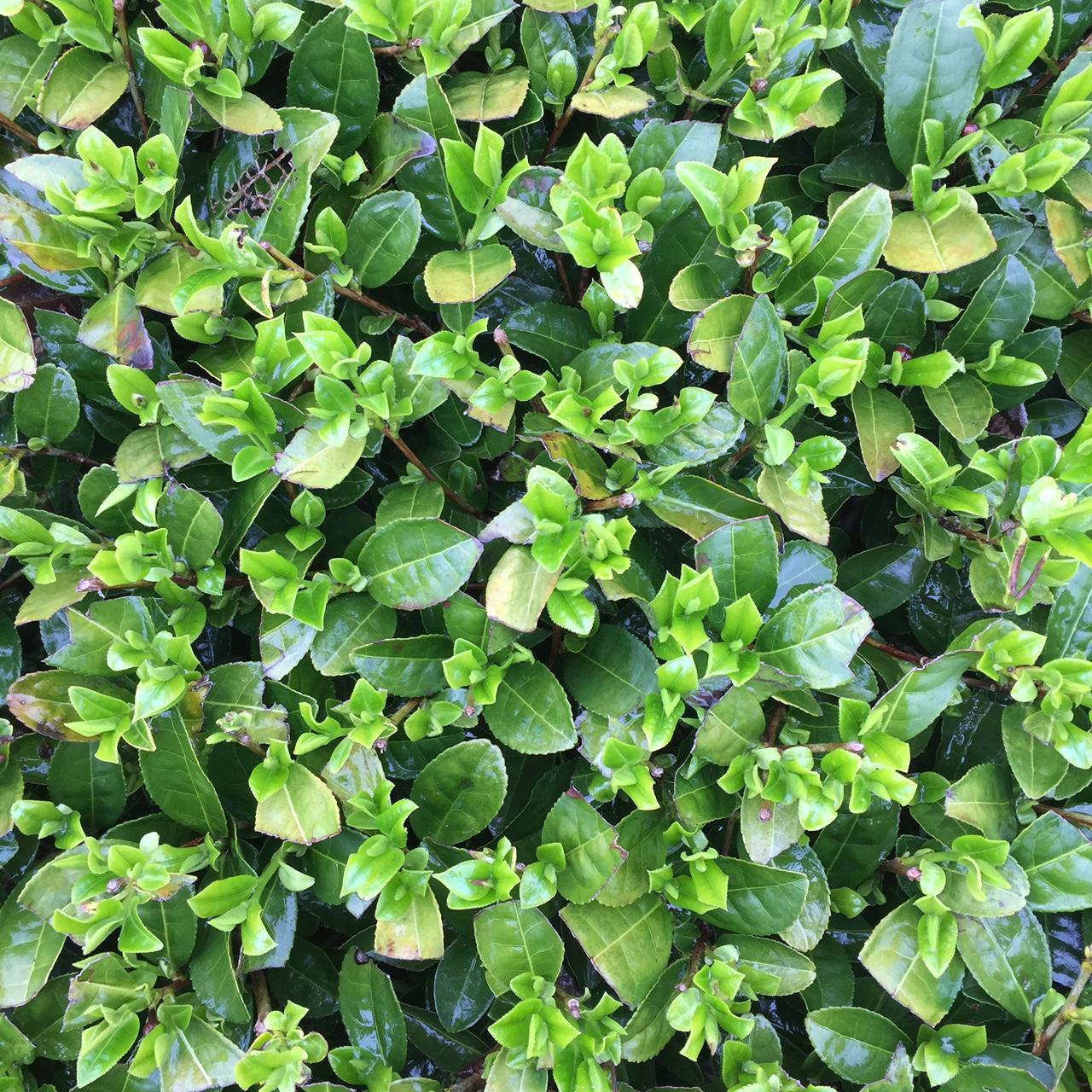 2017年4月11日かごしま緑茶の茶園風景です。品種はゆたかみどりです。小さな新芽がすくすく成長しています。