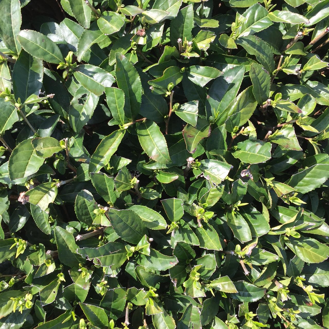2017年4月12日かごしま緑茶の茶園風景です。品種はヤブキタです。小さな新芽が顔を出しました。