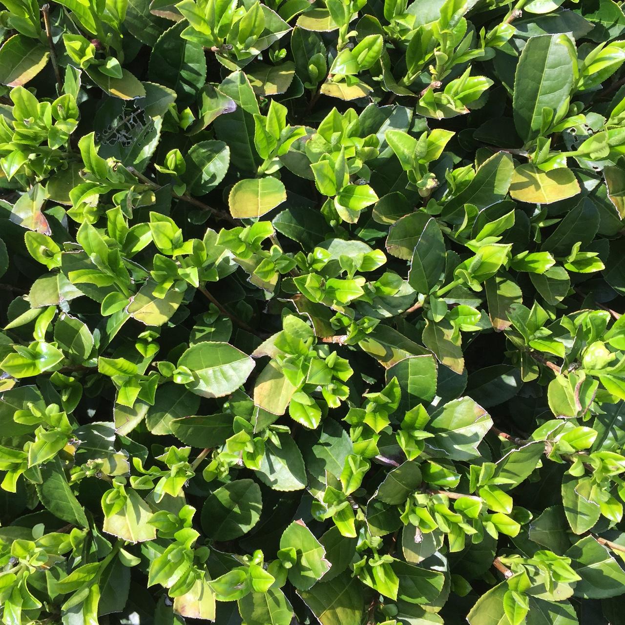2017年4月12日かごしま緑茶の茶園風景です。品種はゆたかみどりです。小さな新芽がすくすく成長しています。