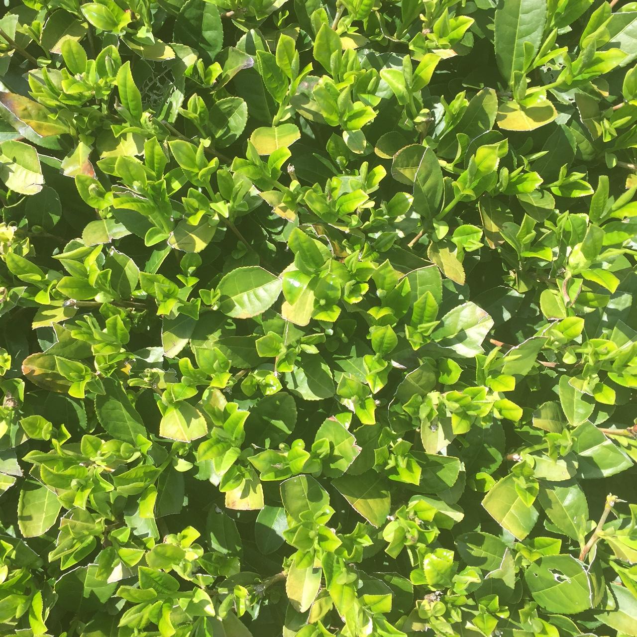 2017年4月13日かごしま緑茶の茶園風景です。品種はゆたかみどりです。小さな新芽がすくすく成長しています。