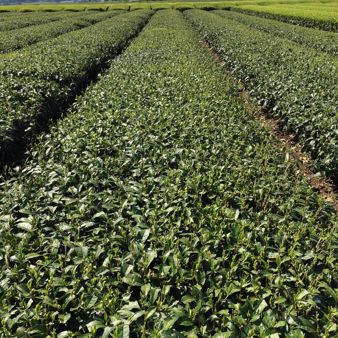 2017年4月14日かごしま緑茶の茶園風景です。品種はヤブキタです。小さな新芽が顔を出しました。