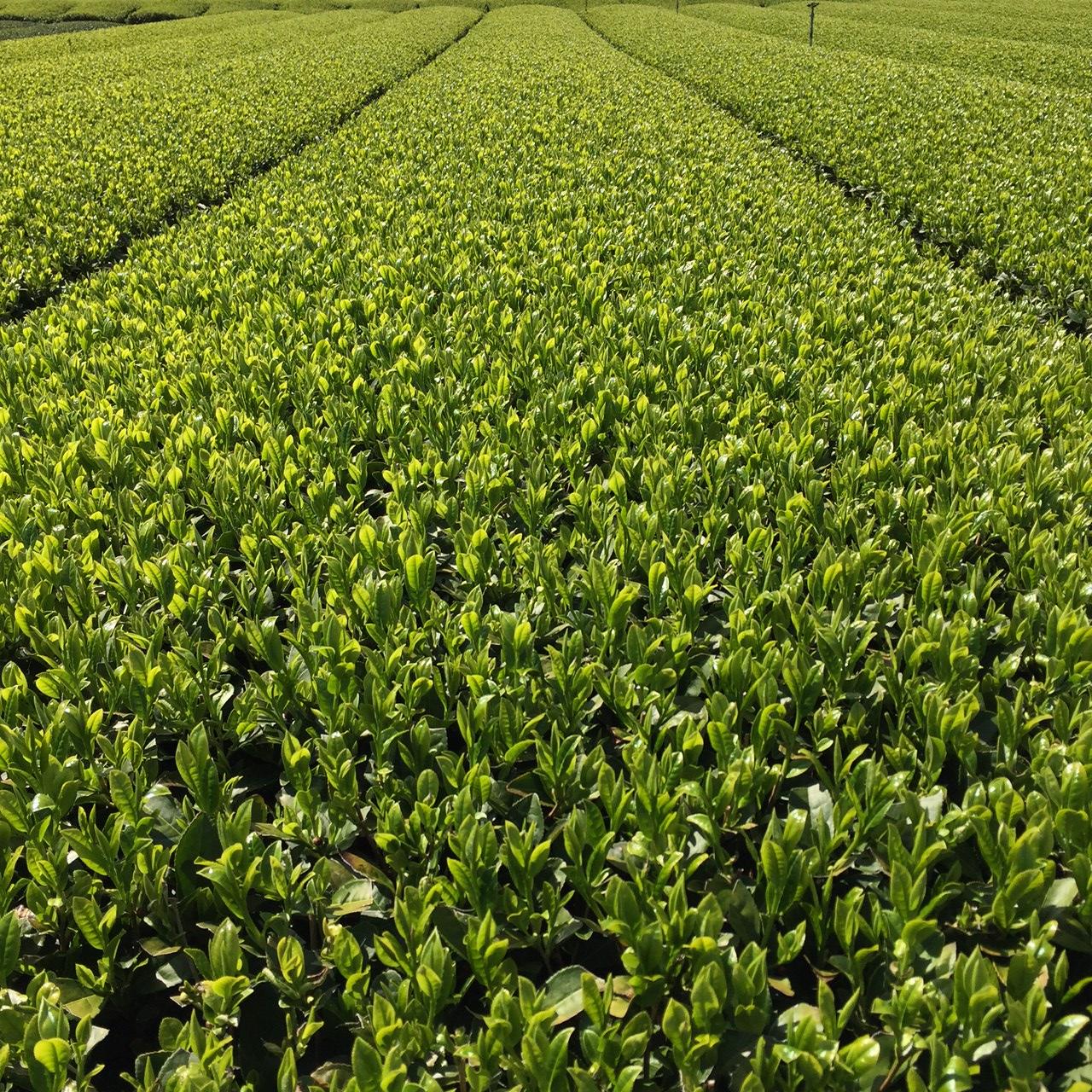 2017年4月14日かごしま緑茶の茶園風景です。品種はゆたかみどりです。小さな新芽がすくすく成長しています。