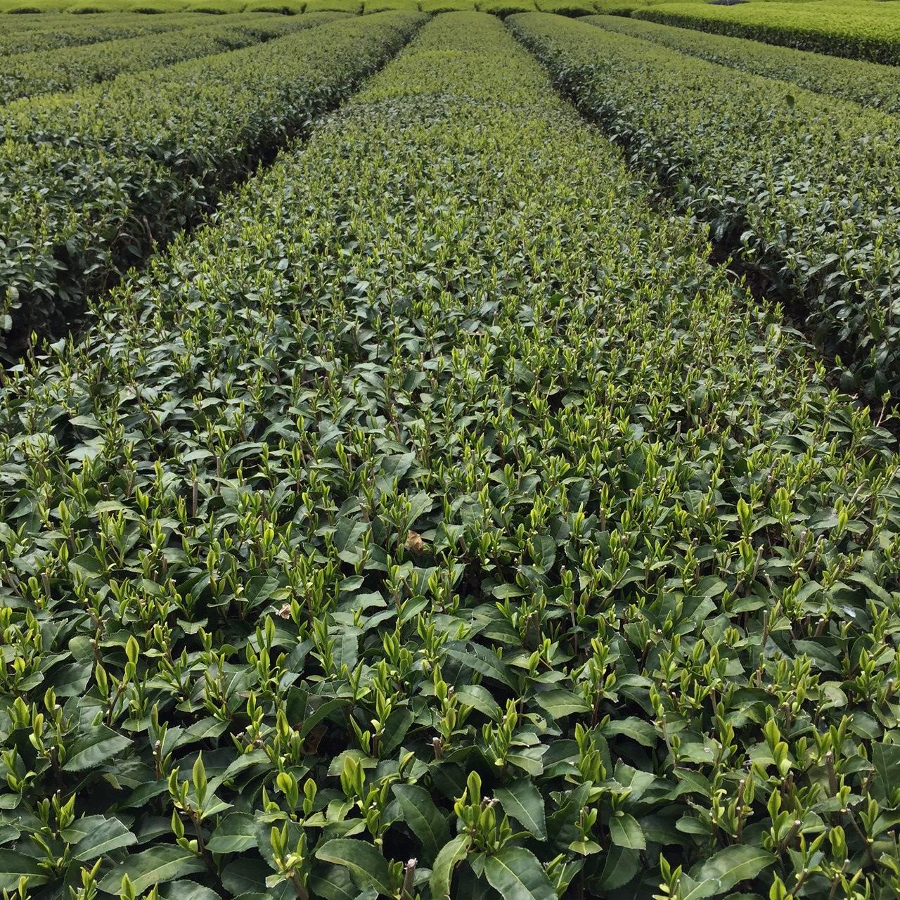 2017年4月15日かごしま緑茶の茶園風景です。品種はヤブキタです。小さな新芽成長中。