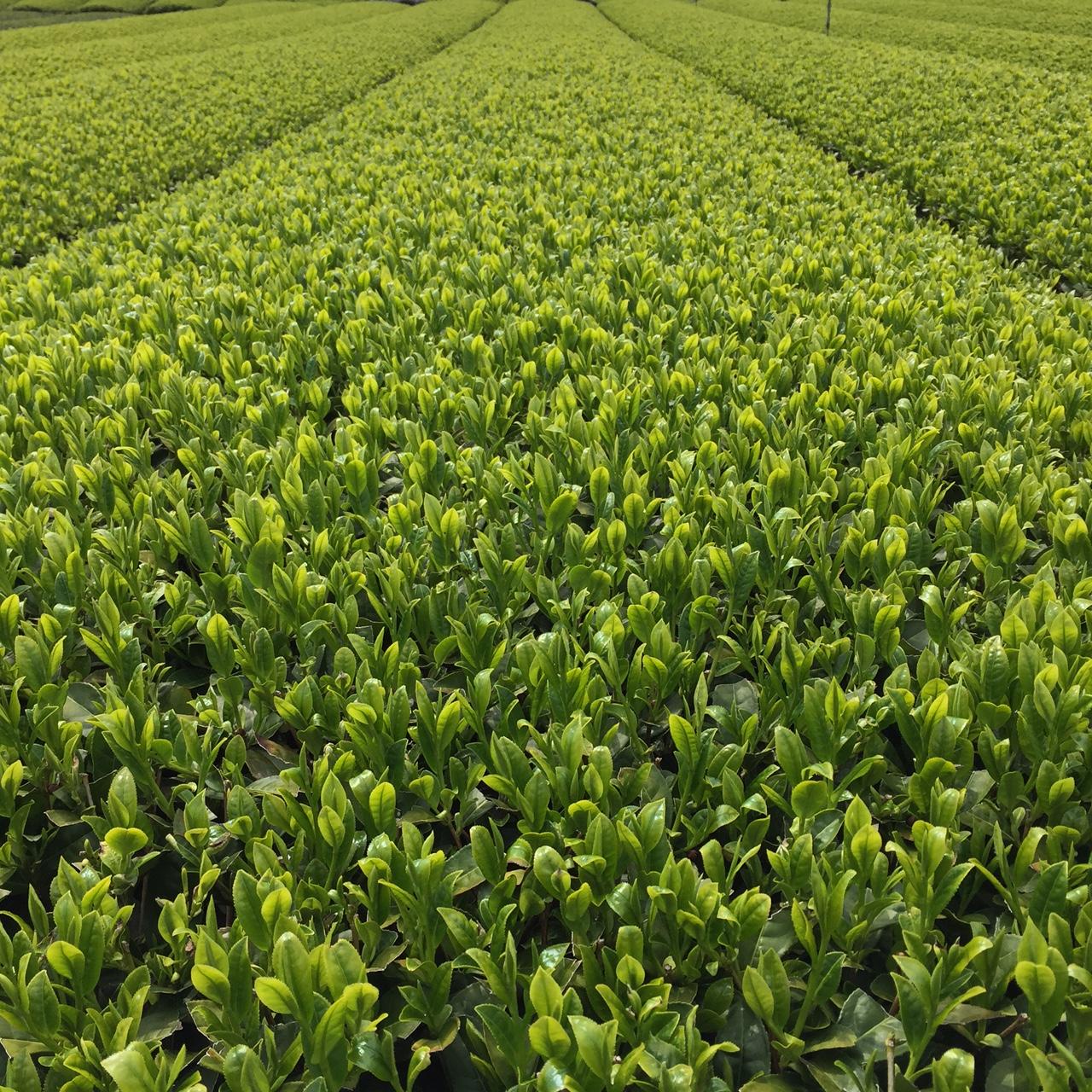 2017年4月15日かごしま緑茶の茶園風景です。品種はゆたかみどりです。いよいよ黒い覆いをかけられます。