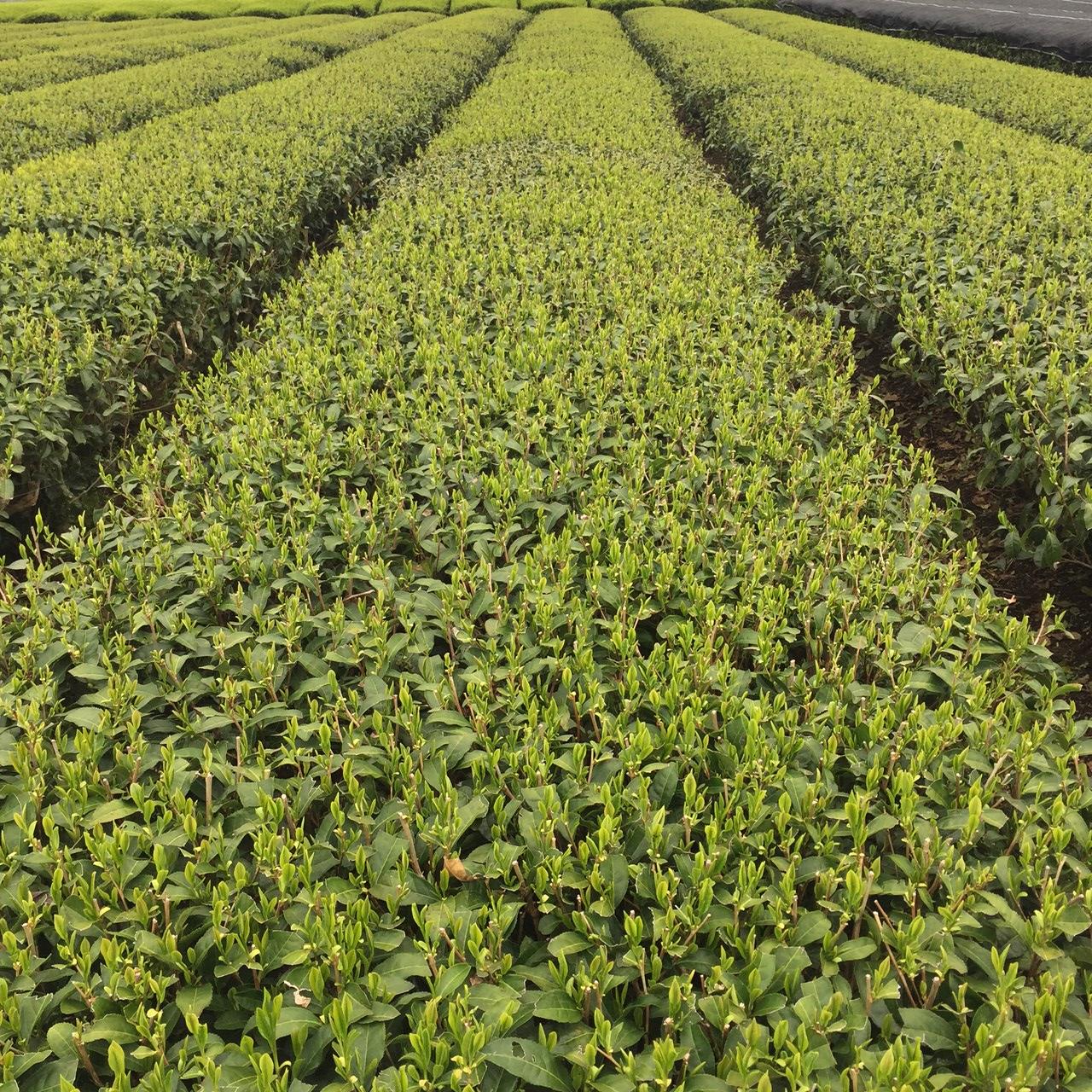 2017年4月16日かごしま緑茶の茶園風景です。品種はヤブキタです。小さな新芽成長中。