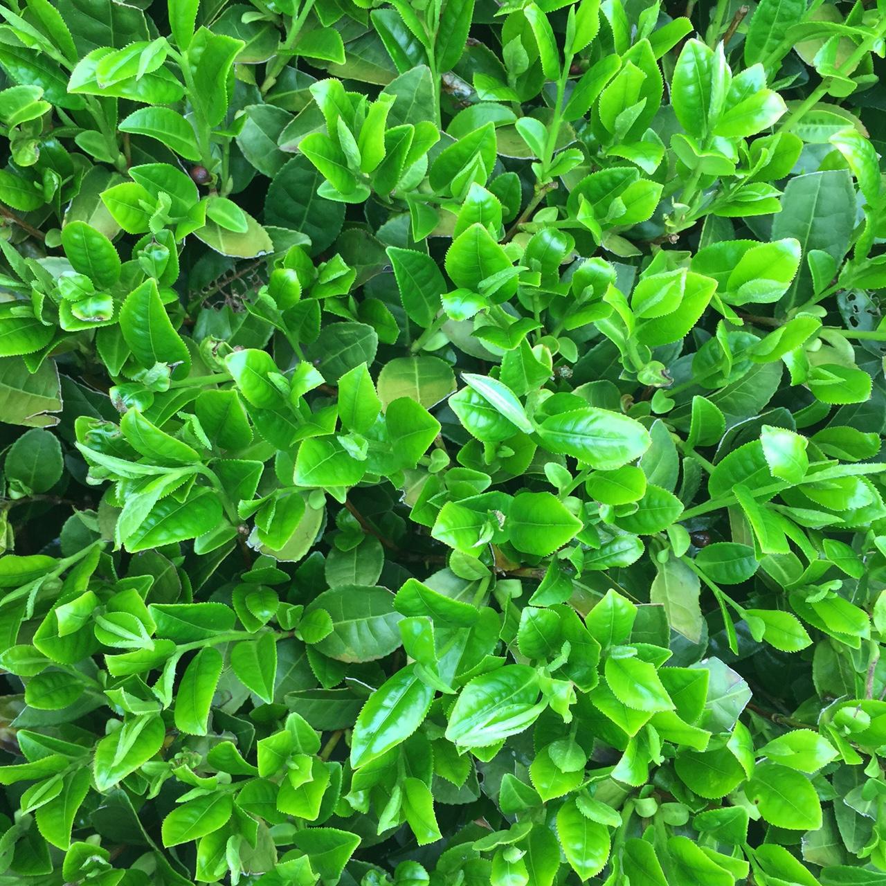 2017年4月16日かごしま緑茶の茶園風景です。品種はゆたかみどりです。黒い覆いの下には新芽が活き活き伸びてます。