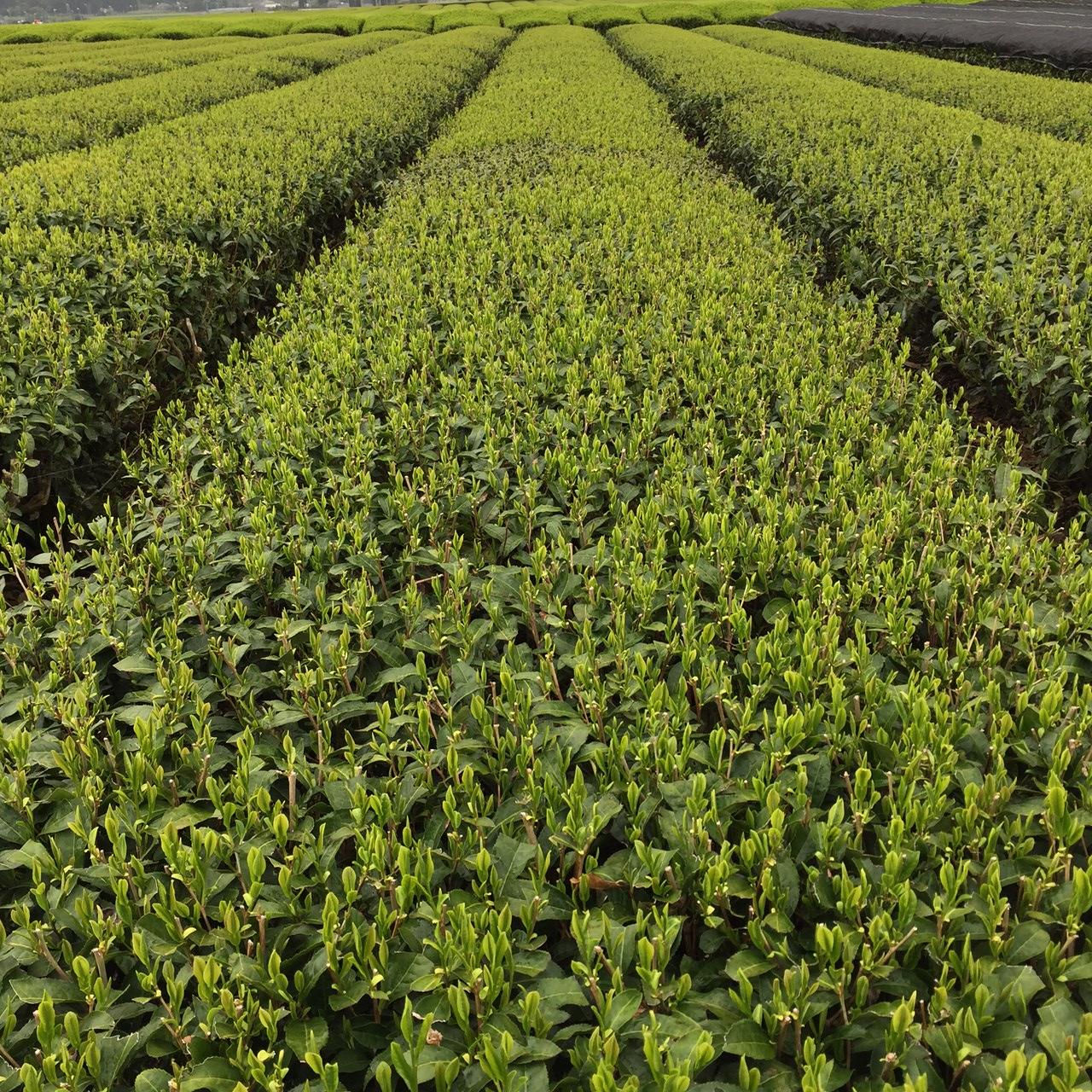 2017年4月17日かごしま緑茶の茶園風景です。品種はヤブキタです。小さな新芽成長中。