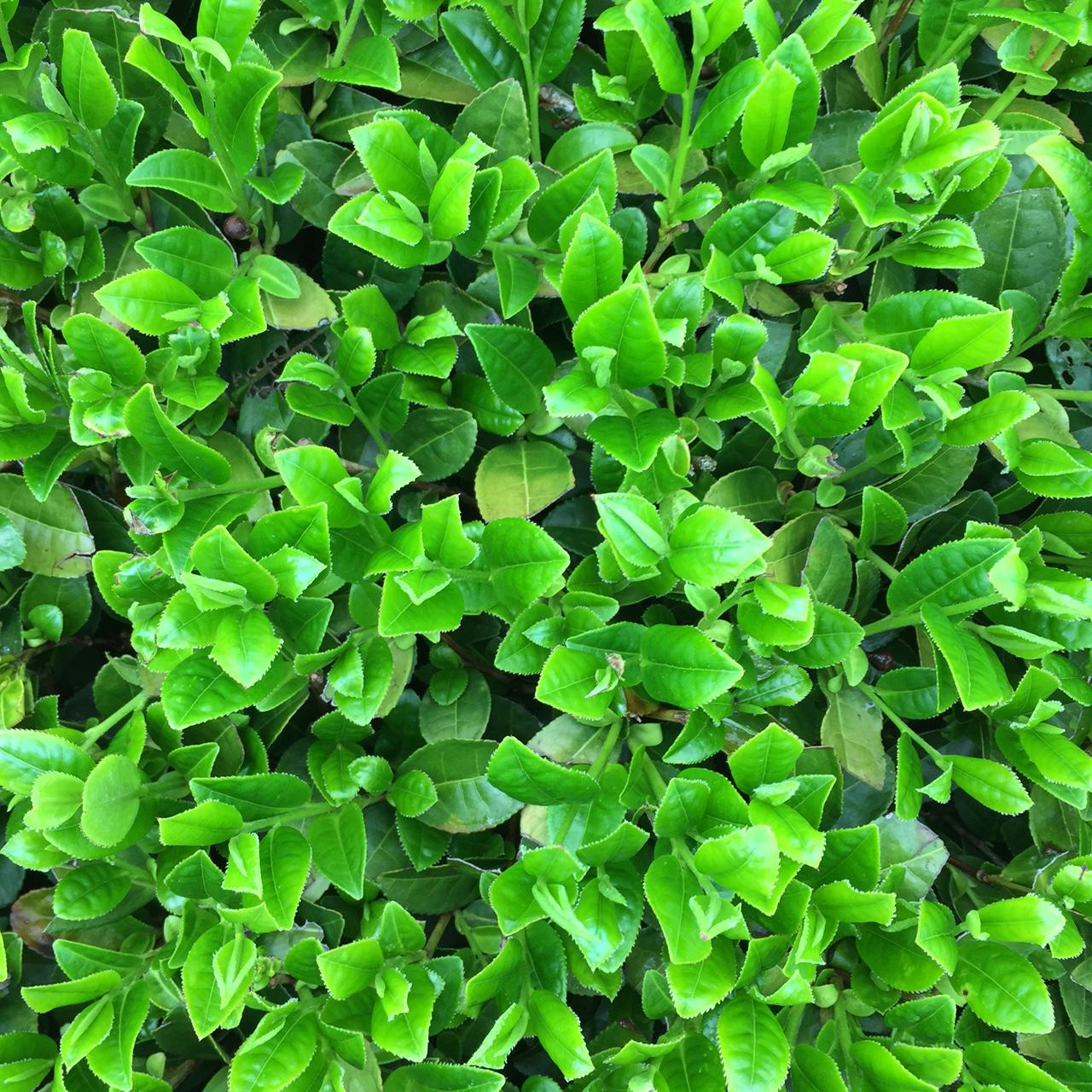 2017年4月17日かごしま緑茶の茶園風景です。品種はゆたかみどりです。黒い覆いの下には新芽が活き活き伸びてます。