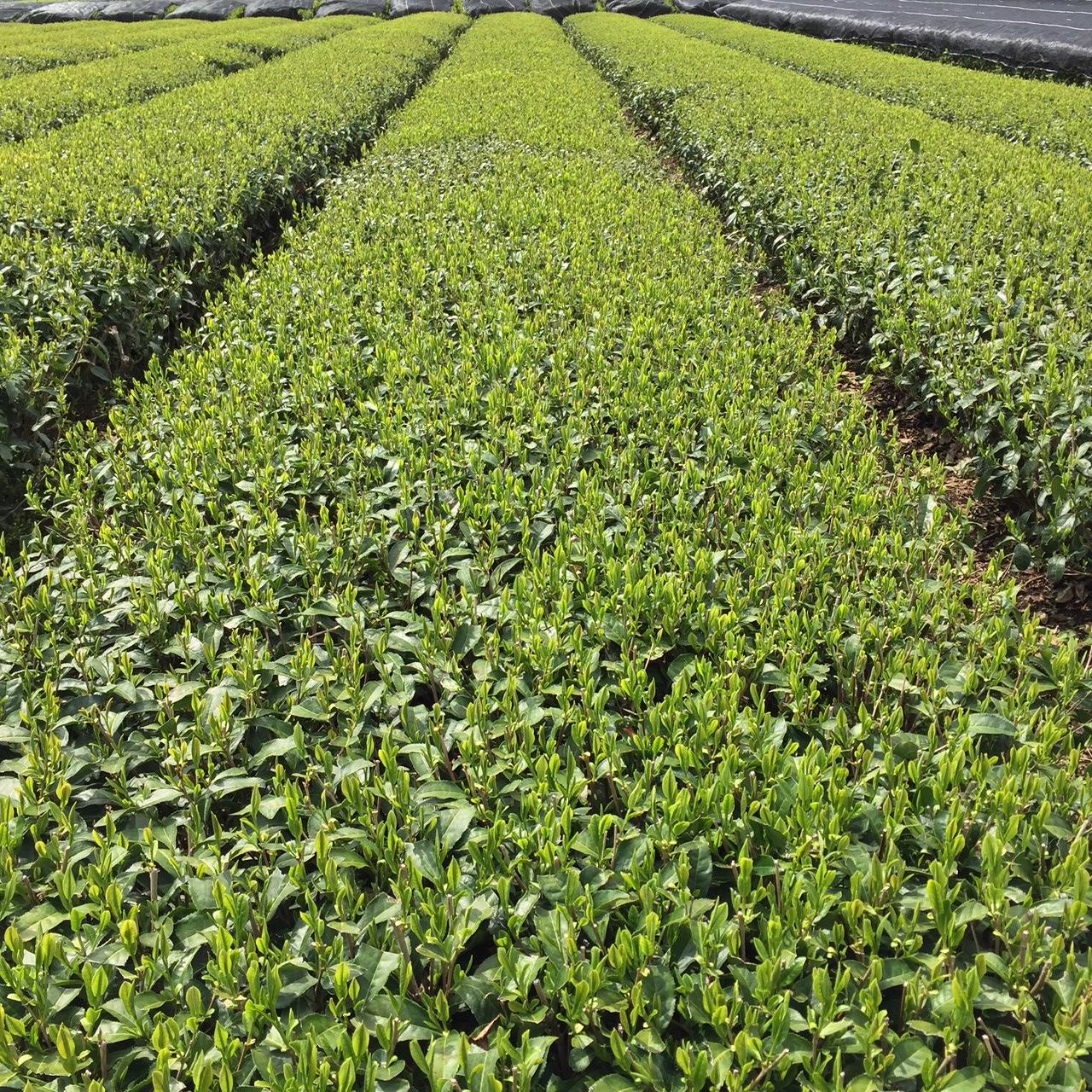 2017年4月18日かごしま緑茶の茶園風景です。品種はヤブキタです。小さな新芽成長中。
