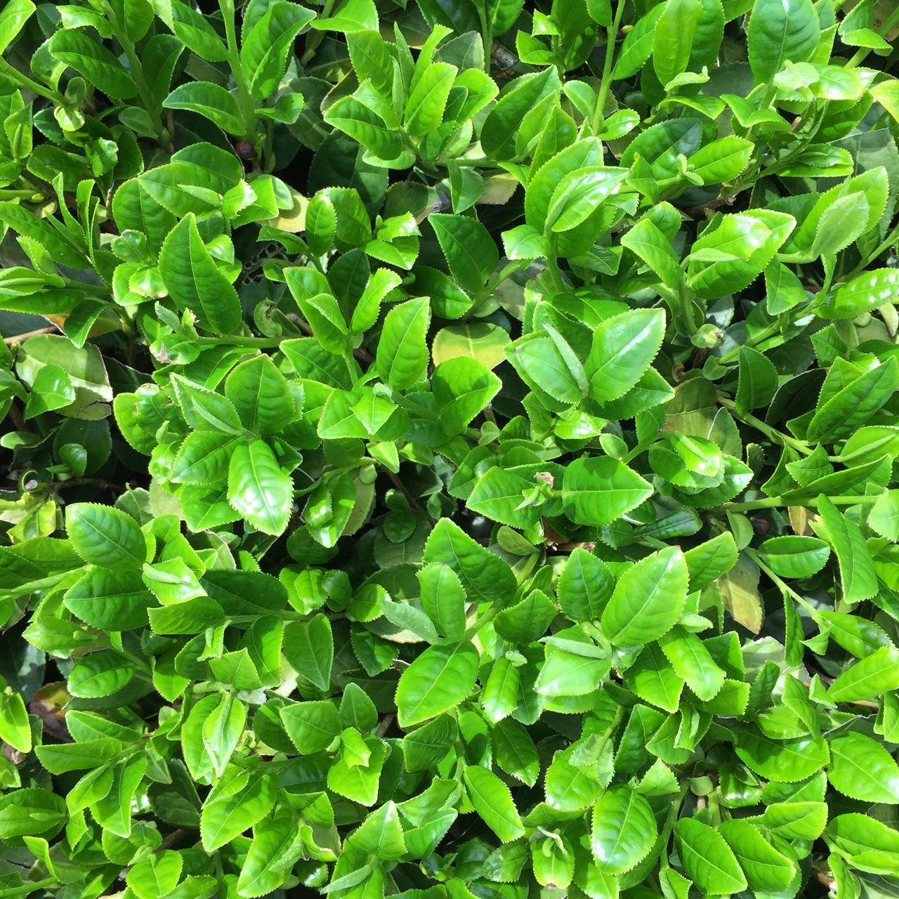 2017年4月18日かごしま緑茶の茶園風景です。早生品種ゆたかみどりです。葉緑素上げてます!。