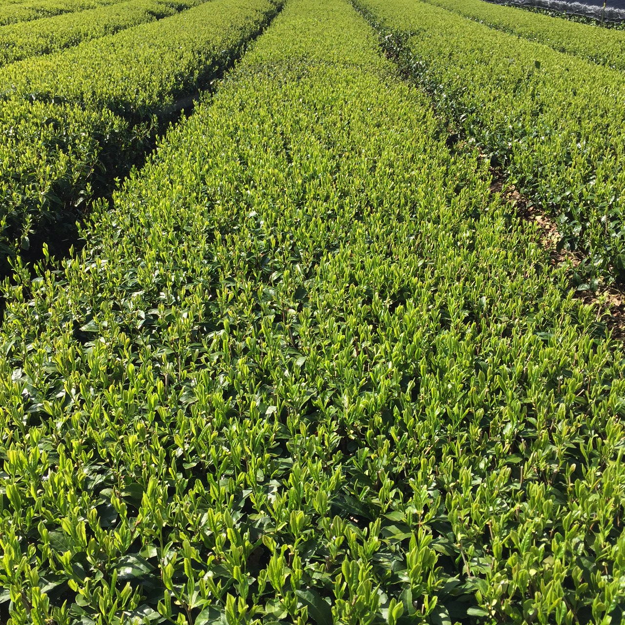 2017年4月19日かごしま緑茶の茶園風景です。品種はヤブキタです。小さな新芽成長中。