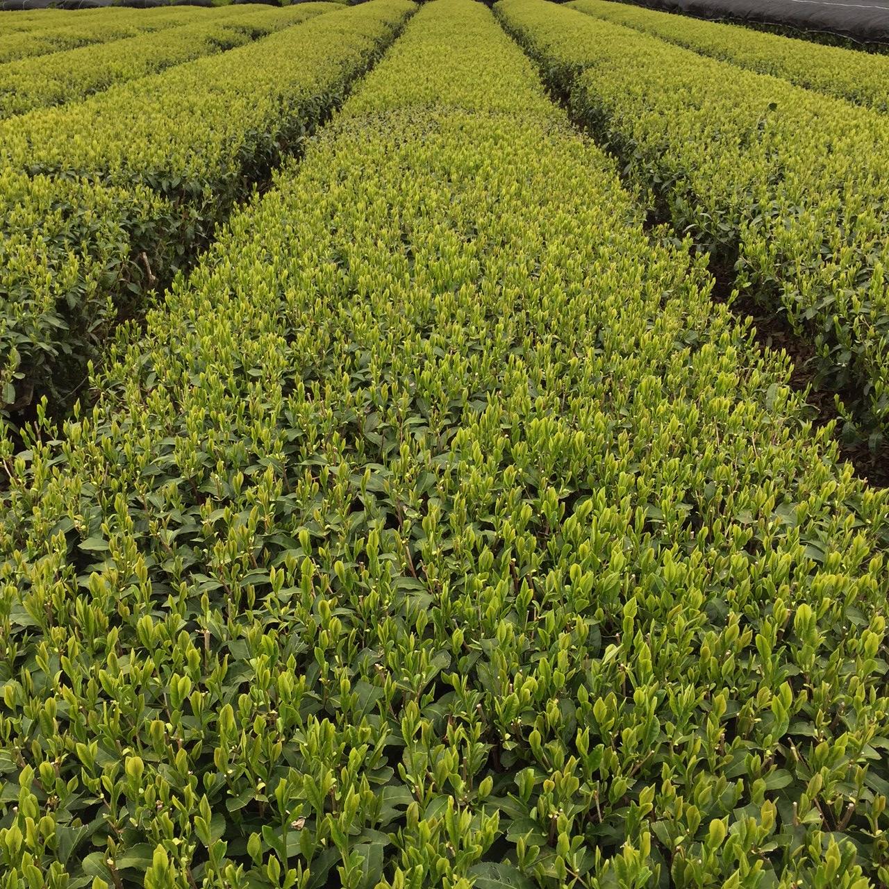 2017年4月20日かごしま緑茶の茶園風景です。品種はヤブキタです。小さな新芽成長中。