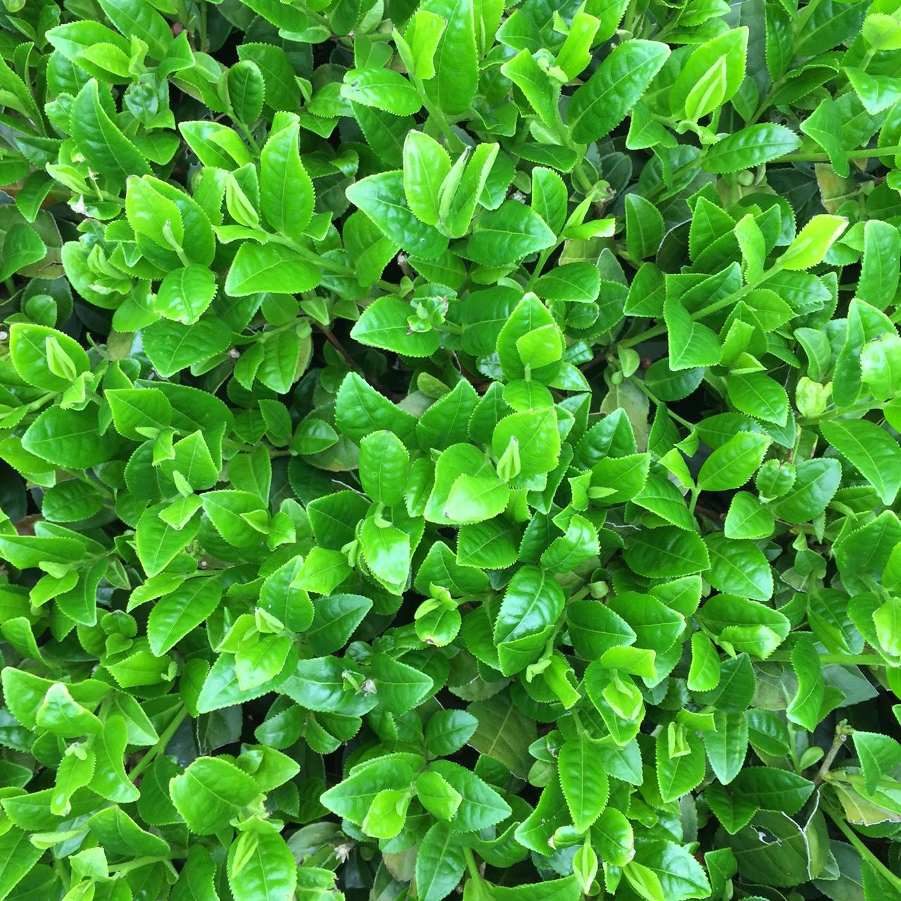 2017年4月20日かごしま緑茶の茶園風景です。早生品種ゆたかみどりです。緑が濃くなってきました!。