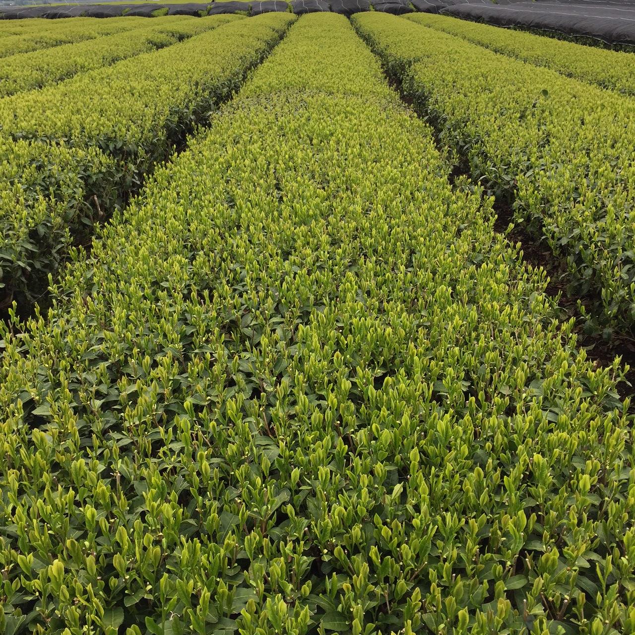 2017年4月21日かごしま緑茶の茶園風景です。品種はヤブキタです。小さな新芽成長中。