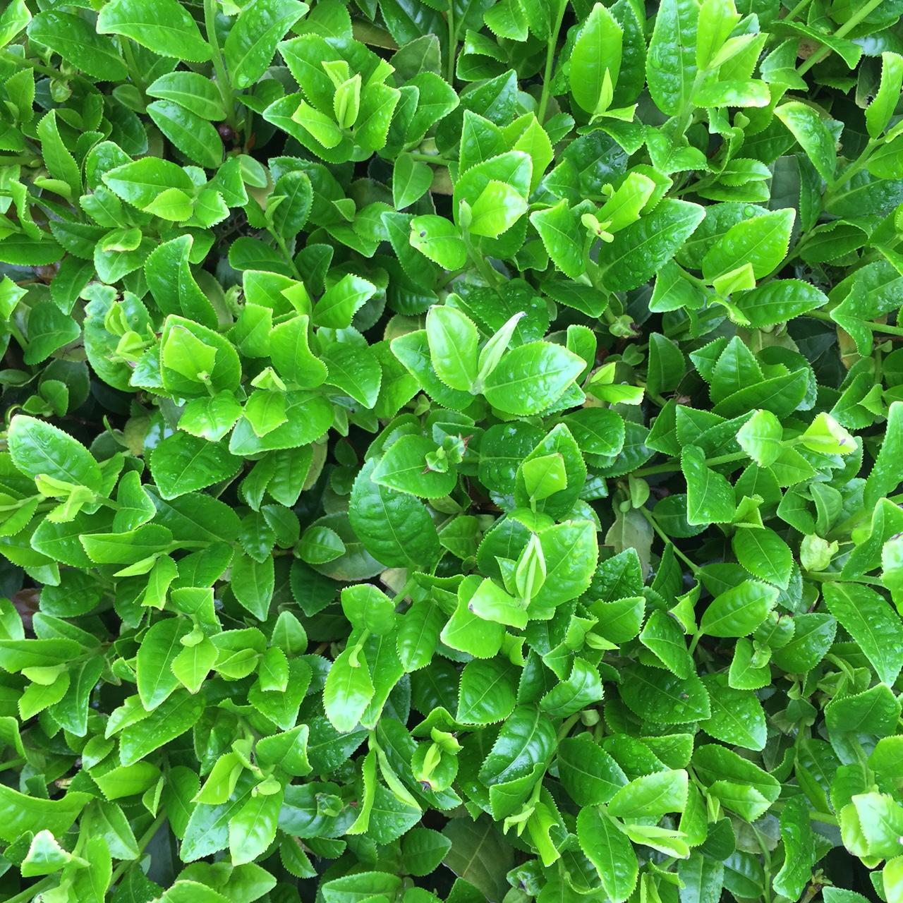 2017年4月21日かごしま緑茶の茶園風景です。早生品種ゆたかみどりです。緑が濃くなってきました!。