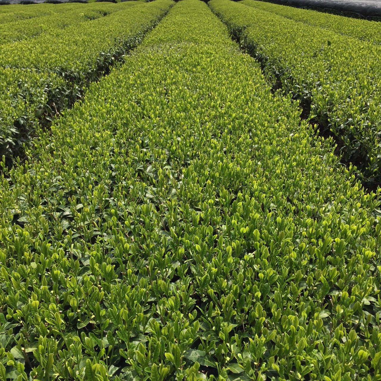 2017年4月22日かごしま緑茶の茶園風景です。品種はヤブキタです。小さな新芽成長中。