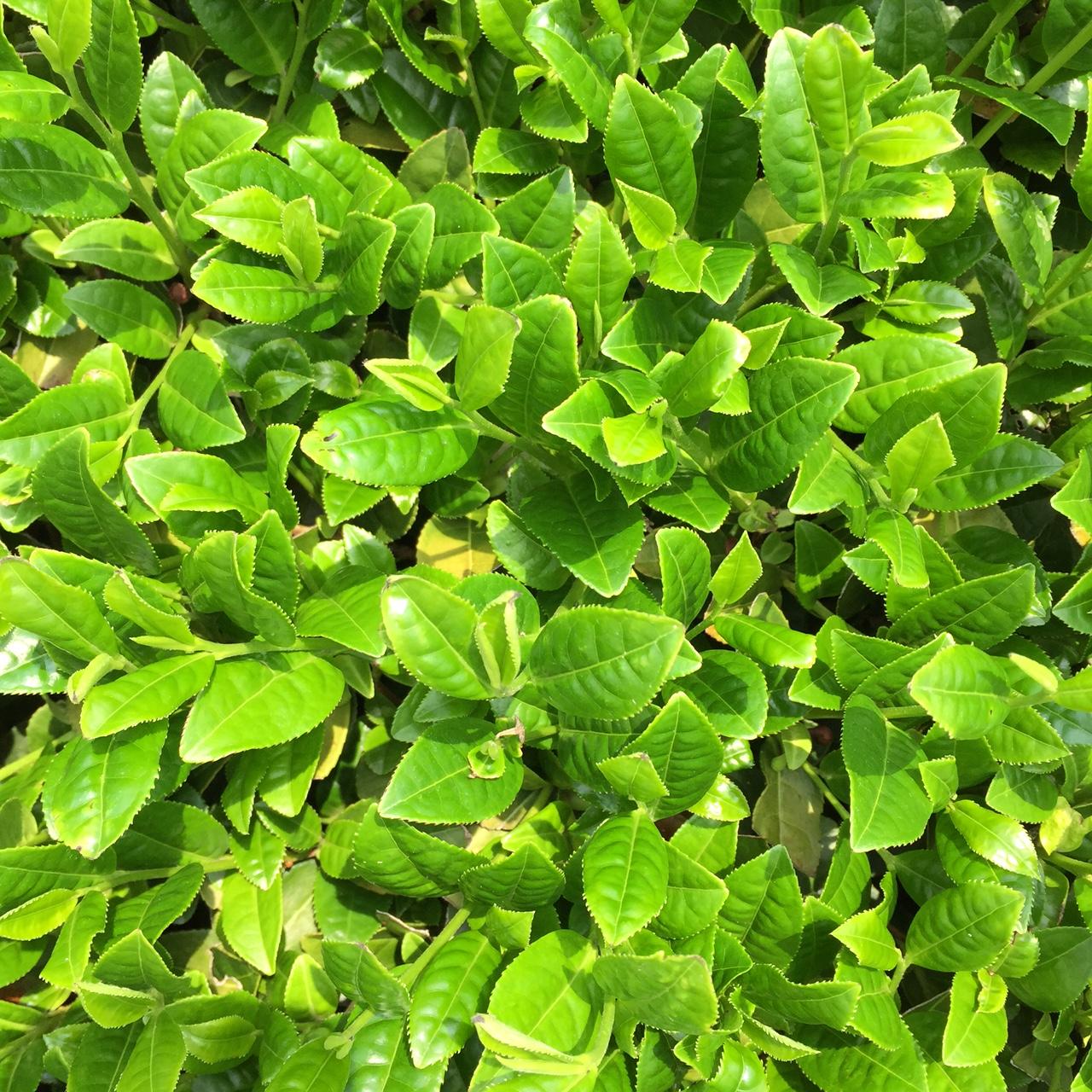 2017年4月22日かごしま緑茶の茶園風景です。早生品種ゆたかみどりです。緑が濃くなってきました!。