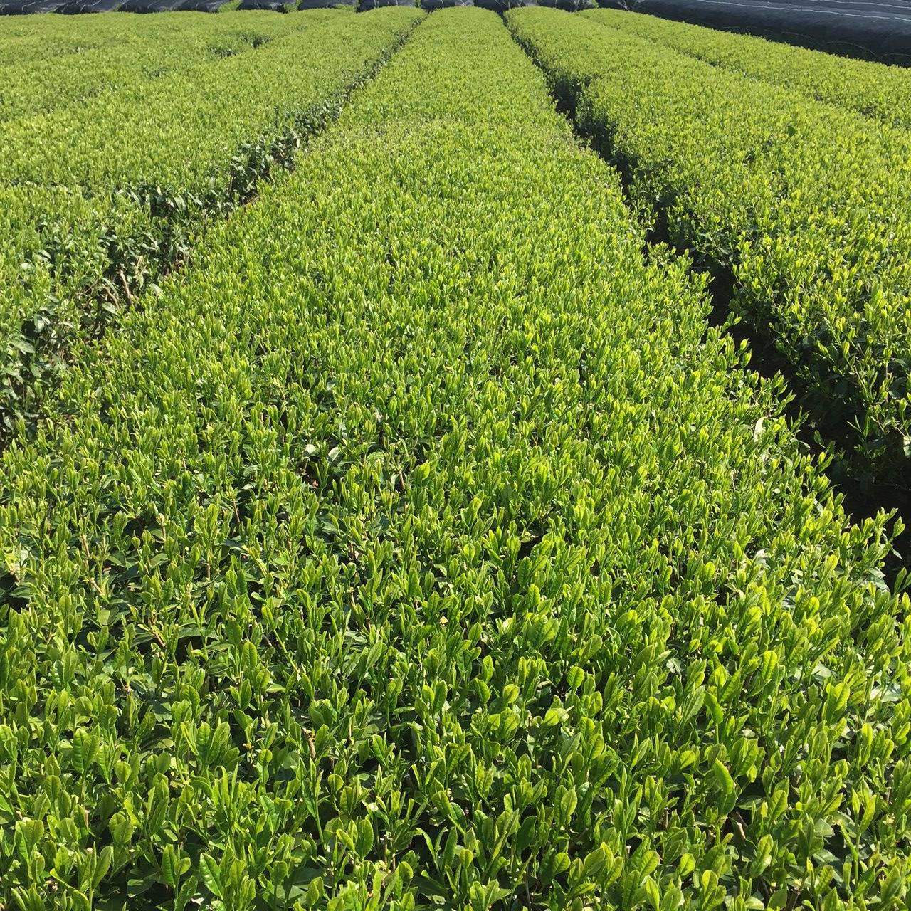 2017年4月23日かごしま緑茶の茶園風景です。品種はヤブキタです。小さな新芽成長中。