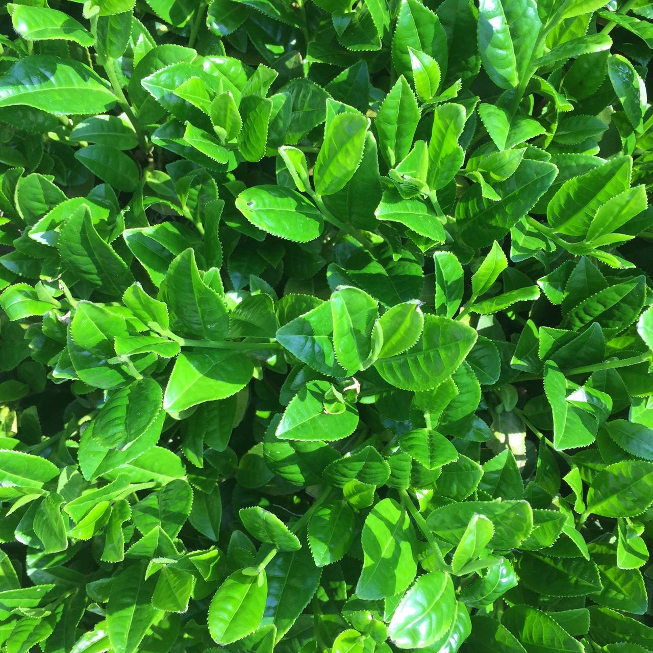 2017年4月23日かごしま緑茶の茶園風景です。早生品種ゆたかみどりです。緑が濃くなってきました!。