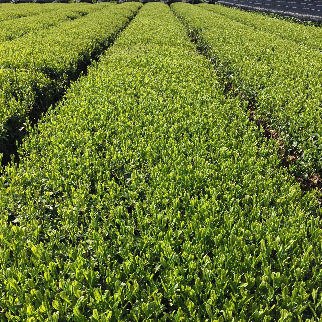 2017年4月24日かごしま緑茶の茶園風景です。品種はヤブキタです。小さな新芽成長中。
