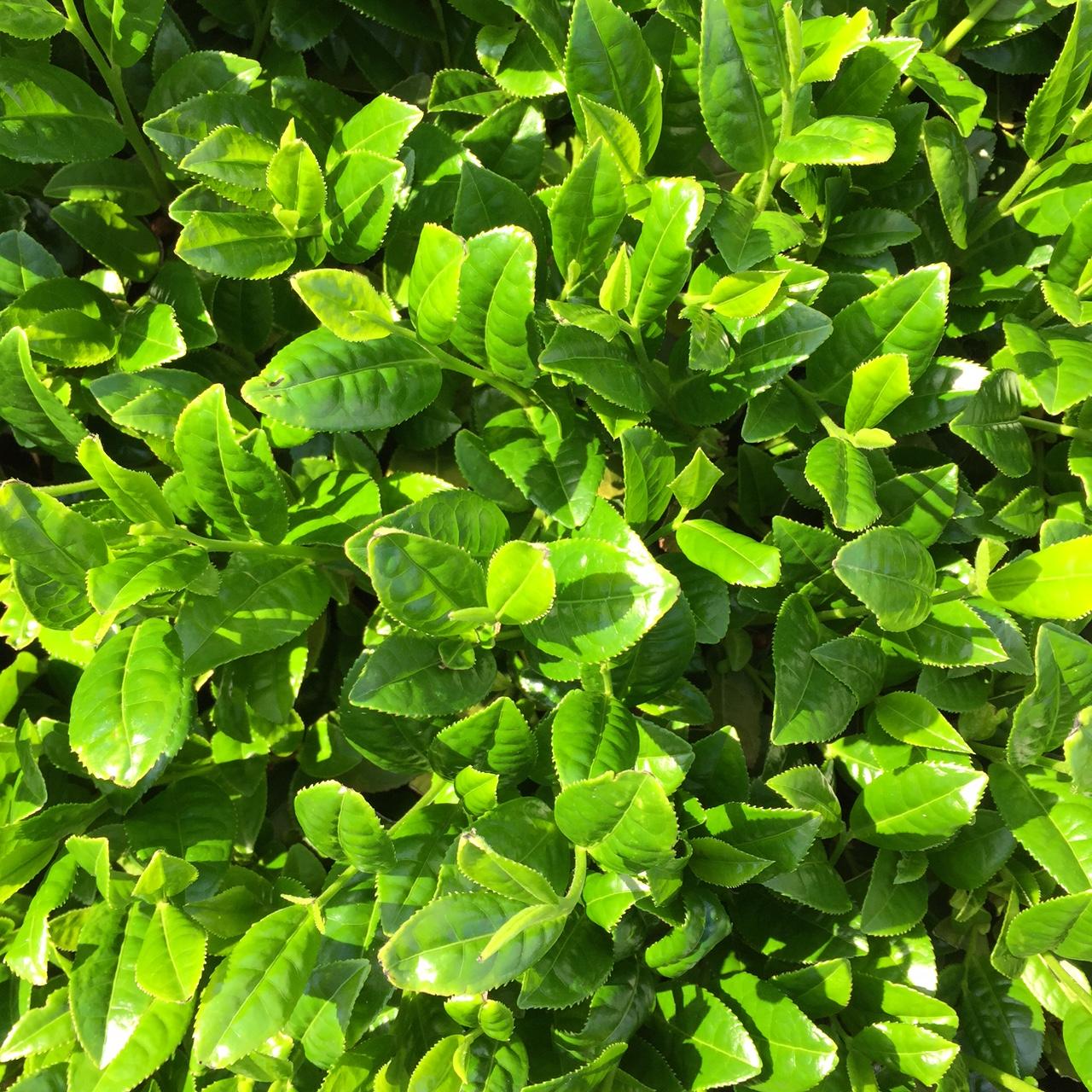 2017年4月24日かごしま緑茶の茶園風景です。早生品種ゆたかみどりです。緑が濃くなってきました!。