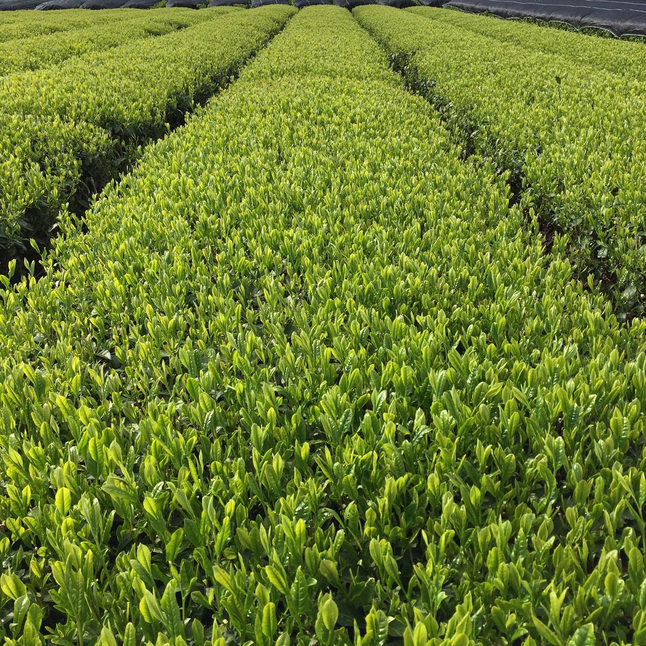 2017年4月25日かごしま緑茶の茶園風景です。品種はヤブキタです。小さな新芽成長中。