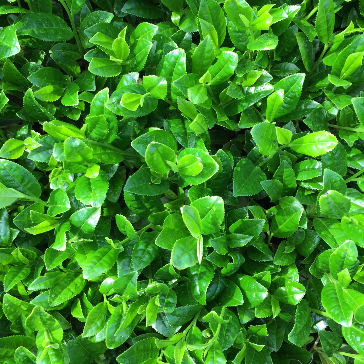 2017年4月25日かごしま緑茶の茶園風景です。早生品種ゆたかみどりです。緑が濃くなってきました!。