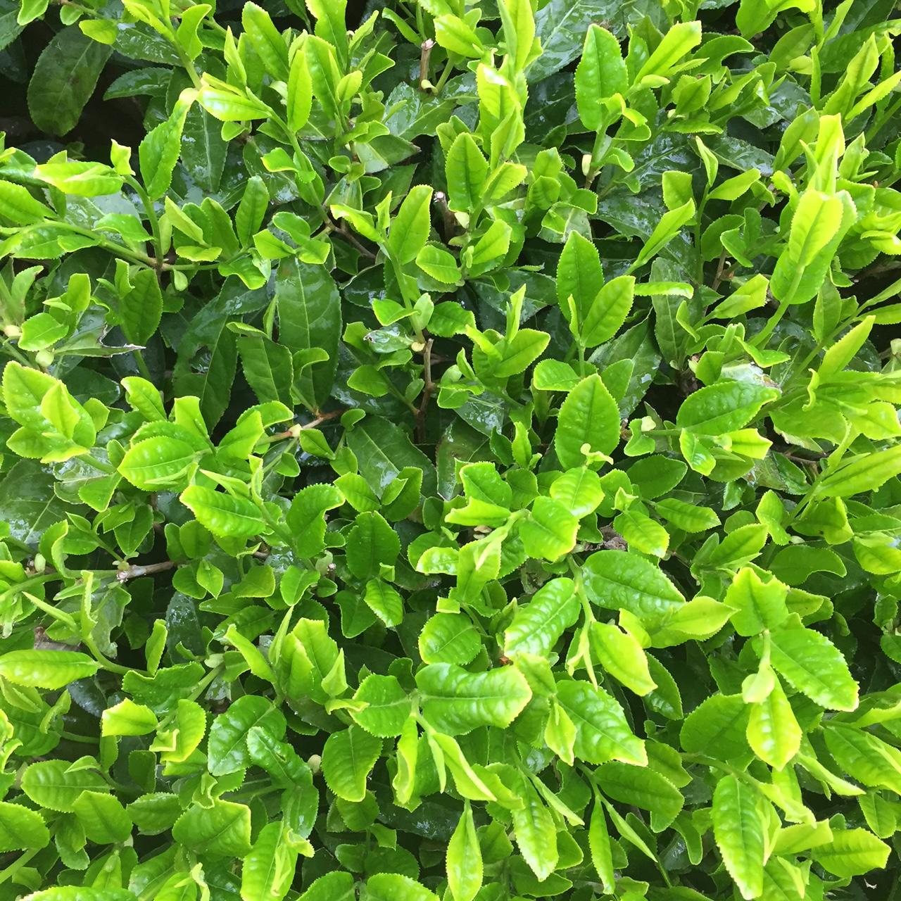 2017年4月26日かごしま緑茶の茶園風景です。品種はヤブキタです。間もなく被せ開始です。