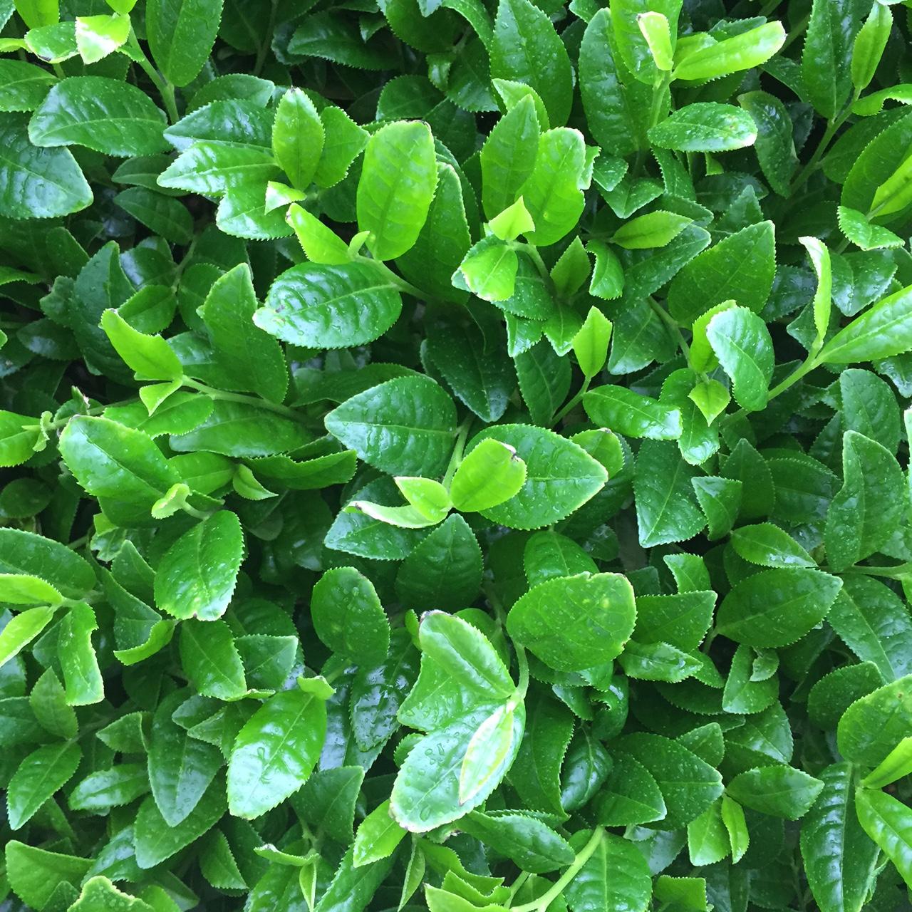 2017年4月26日かごしま緑茶の茶園風景です。早生品種ゆたかみどりです。緑が濃くなってきました!。