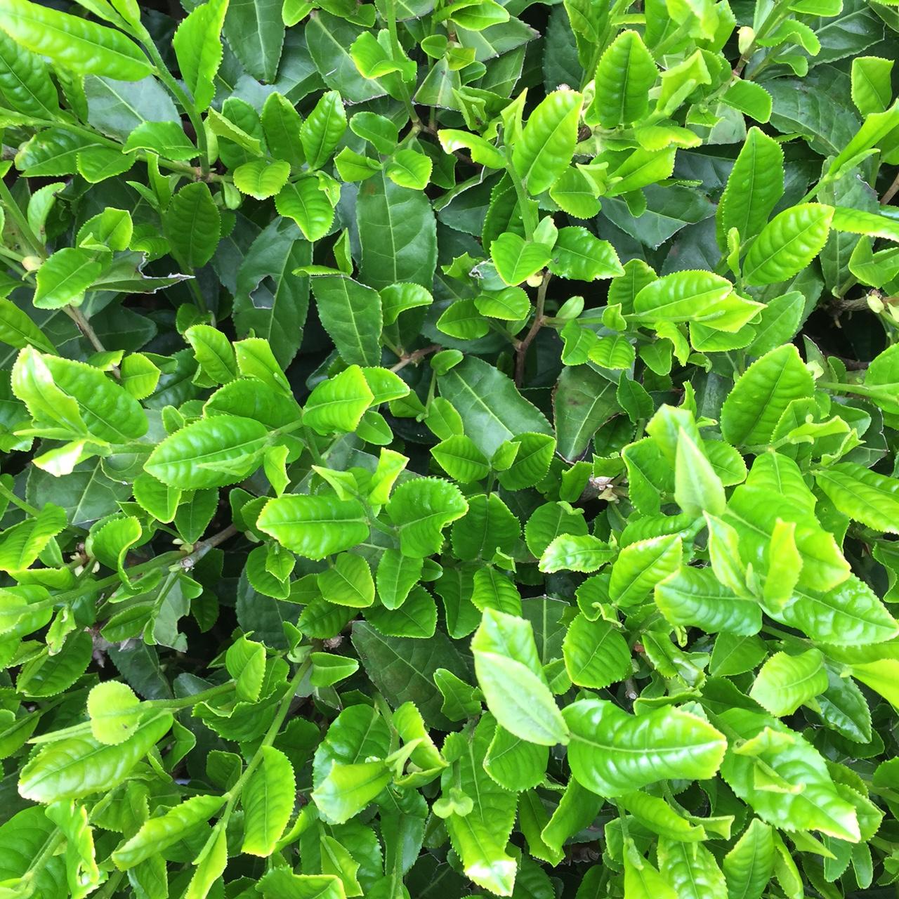 2017年4月27日かごしま緑茶の茶園風景です。品種はヤブキタです。葉緑素貯めてます。