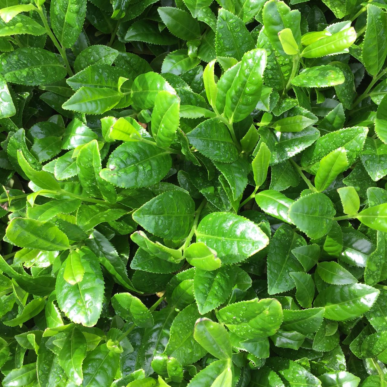 2017年4月27日かごしま緑茶の茶園風景です。早生品種ゆたかみどりです。まもなく摘採!。